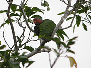 Geoffroyus geoffroyi -Papua New Guinea-6