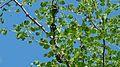 Giant Jewel Beetles (Sternocera orissa) (6032326167).jpg
