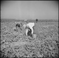 Gila River Relocation Center, Rivers, Arizona. Evacuee farmers are here shown harvesting cucumbers . . . - NARA - 538587.tif