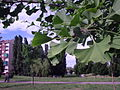 Ginkgo Colletta.JPG