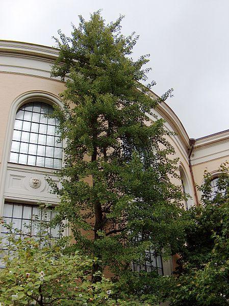File:Ginkgo biloba - Tree.JPG
