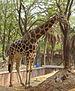 Giraffa camelopardalis 16082012 (1).JPG