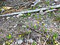 Glacier Lily - Flickr - brewbooks.jpg
