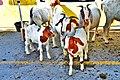 Goats in tiny farm - panoramio.jpg