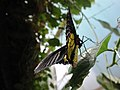 Golden Birdwing butterfly (Troides aeacus) from underneath.jpg