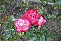 Golden Gate Park Rose Garden 12 2017-06-12.jpg
