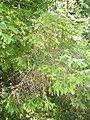 Golden Spruce UBC Botanical Garden Aug 25 2006 1.jpg