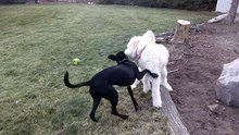 Datei:Goldendoodle and Black Lab puppies play fighting in slow motion.webm