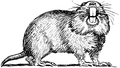 Gopher (PSF).png