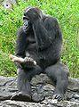 Gorilla gorilla gorilla4.jpg