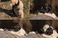 Gorilla making a bed (3956006347).jpg