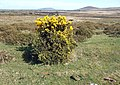 Gorse topiary and distant peaks - geograph.org.uk - 404492.jpg