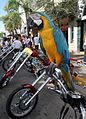 Grand Macaw at 2006 Key West Poker Run (7780819016).jpg