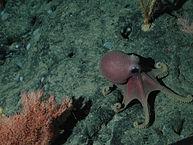 Τα συγκεκριμένα χταπόδια απαντώνται στα βαθιά νερά του Ειρηνικού, αλλά και του Ατλαντικού ωκεανού