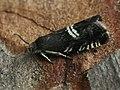 Grapholita pallifrontana (40386695815).jpg