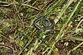Grass Snake (Natrix natrix) (6161789502).jpg