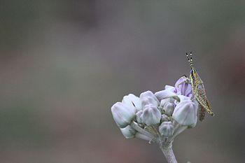 Grasshopper type1.jpg