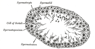 Spermiogenesis - Note how the tails of the sperm point inward. This orientation occurs during the acrosomal phase.