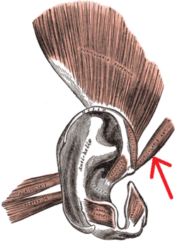 Gray906 - Anterior auricular muscle.png