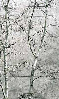 <i>Betula populifolia</i> Species of birch