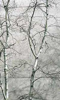 Gray birch against gray sky