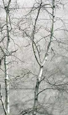 Gray birch against gray sky.jpg