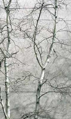 Betula populifolia - Gray Birches in winter