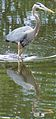 Great Blue Heron - Ardea herodias.JPG