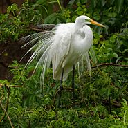 Great Egret during mating season at Smith Oaks Sanctuary, High Island - edited.jpg