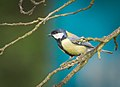 Great tit (33486060883).jpg