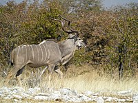 Greater Kudu, Etosha National Park, Namibia.jpg