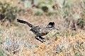 Greater Roadrunner (Geococcyx californianus) (19729203094).jpg