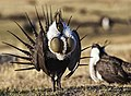 Greater sage-grouse (Centrocercus urophasianus).jpg