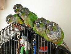 Green Cheeked Conure Family.jpeg