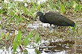 Green Ibis (Mesembrinibis cayennensis) - Flickr - berniedup.jpg