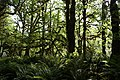 Green trees mossy rainforest quinault graves creek nature trail d archuleta 2015 (24055820879).jpg