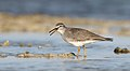 Grey-tailed Tattler (Tringa brevipes) (42474642534).jpg