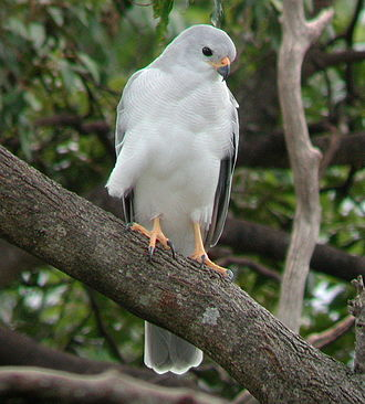Grey goshawk - Image: Grey Goshawk Dayboro Apr 02