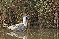 Grey Heron - アオサギ - panoramio (2).jpg