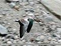 Greylag Goose (Anser anser) (32825711905).jpg