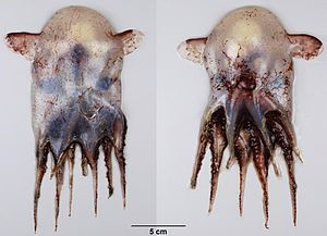 Grimpoteuthis - Dorsal (left) and ventral (right) aspects of a mature female of G. innominata (73 mm ML)