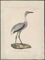 Grus antigone - 1825-1834 - Print - Iconographia Zoologica - Special Collections University of Amsterdam - UBA01 IZ17300115.tif