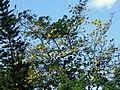 Guayacán amarillo (Tabebuia chrysantha) (14603436318).jpg