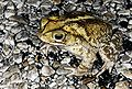 Gulf Coast Toad - Bufo valliceps.jpg