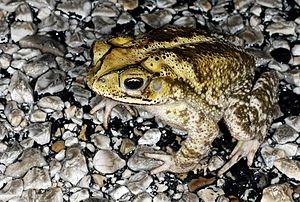 Gulf Coast toad - Yellow-backed I. valliceps