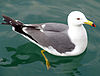 Gull in water3.jpg
