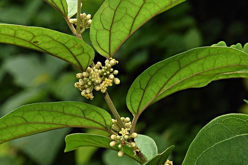 File:Gymnema sylvestre flowers-ചക്കരക്കൊല്ലി.jpg