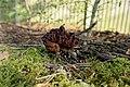 Gyromitra esculenta (41587150261).jpg