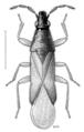 HEMI Anthocoridae Maoricoris benefactor.png