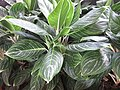 HK CWB 銅鑼灣 Causeway Bay 希慎廣場 Hysan Place Sky Garden plant white stem 孔雀竹芋 Calathea makoyana 肖竹芋屬 Calathea zebrina October 2017 IX1 05.jpg